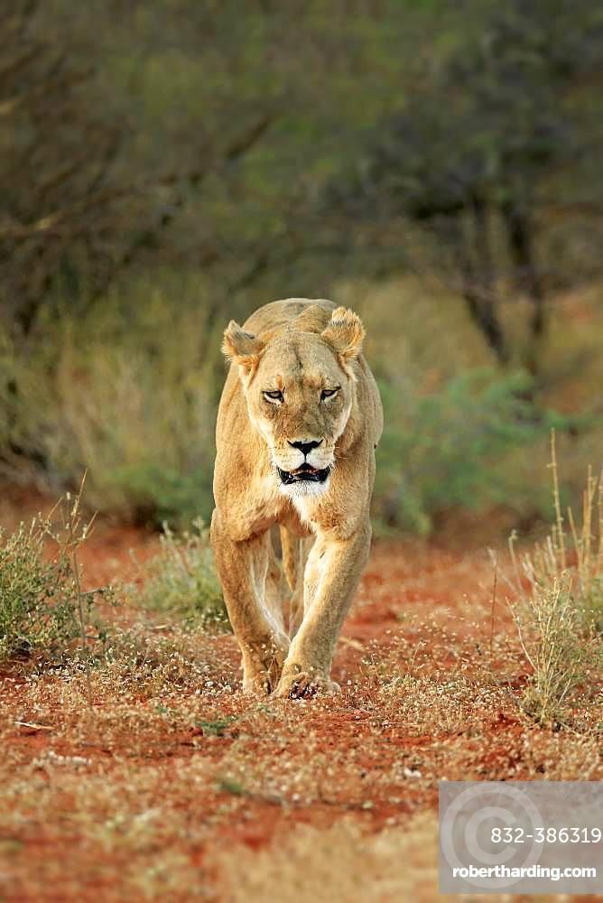 Lioness (Panthera leo), adult, walking through bush land, Tswalu Game Reserve, Kalahari, North Cape, South Africa, Africa