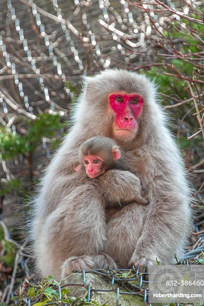 Japanese macaque (Macaca fuscata), dam with young sits on rocks protected by wire mesh, Yamanouchi, Nagano Prefecture, Honshu Island, Japan, Asia