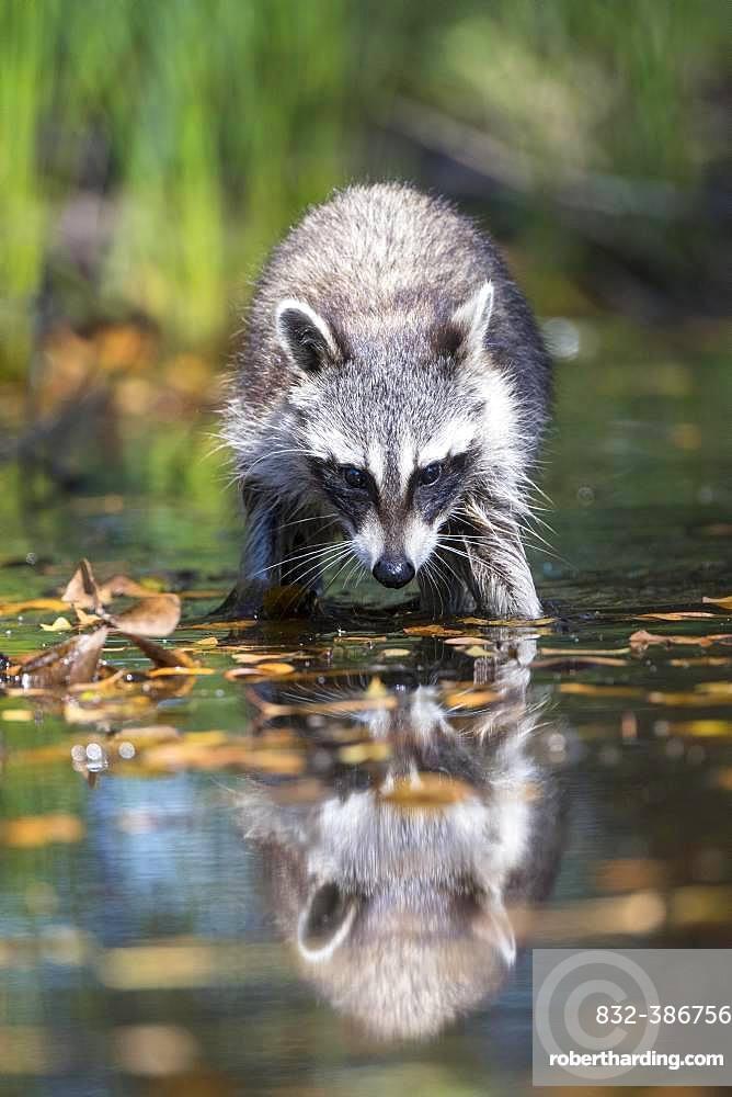Raccoon (Procyon lotor) wads through water, Louisiana, USA, North America