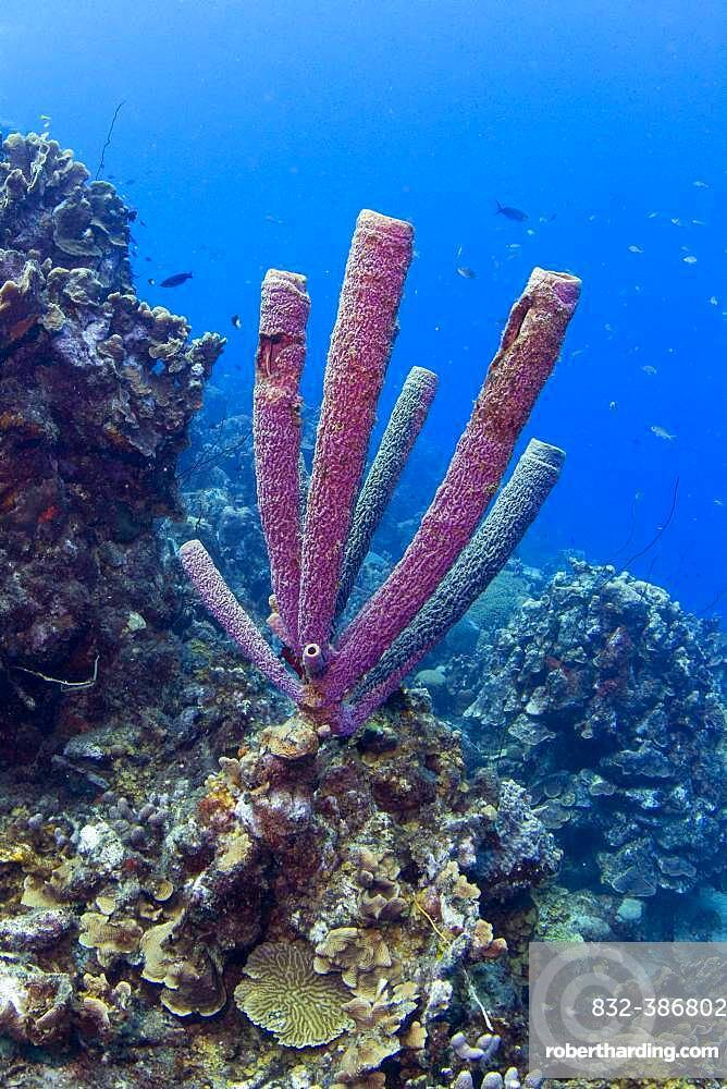 Purple Stove-pipe Sponge (Aplysina archeri) off Playa Grandi, West Curacao, Curacao, South America