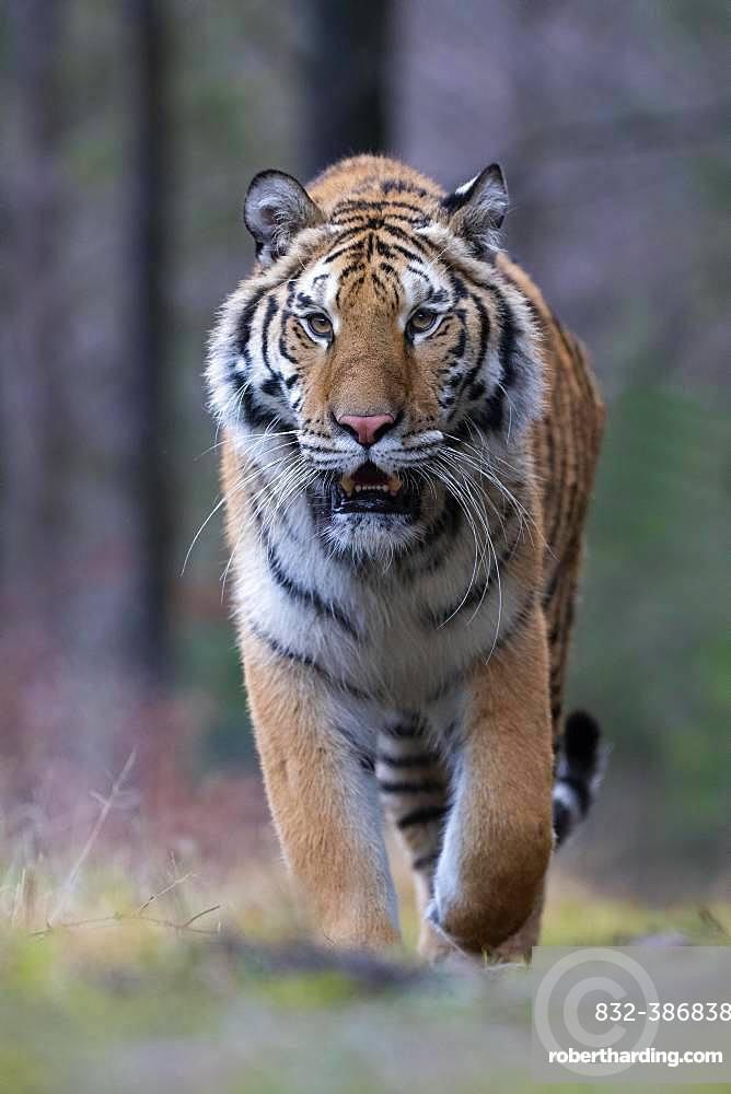 Siberian tiger (Panthera tigris altaica), running, direct view, captive, Czech Republic, Europe