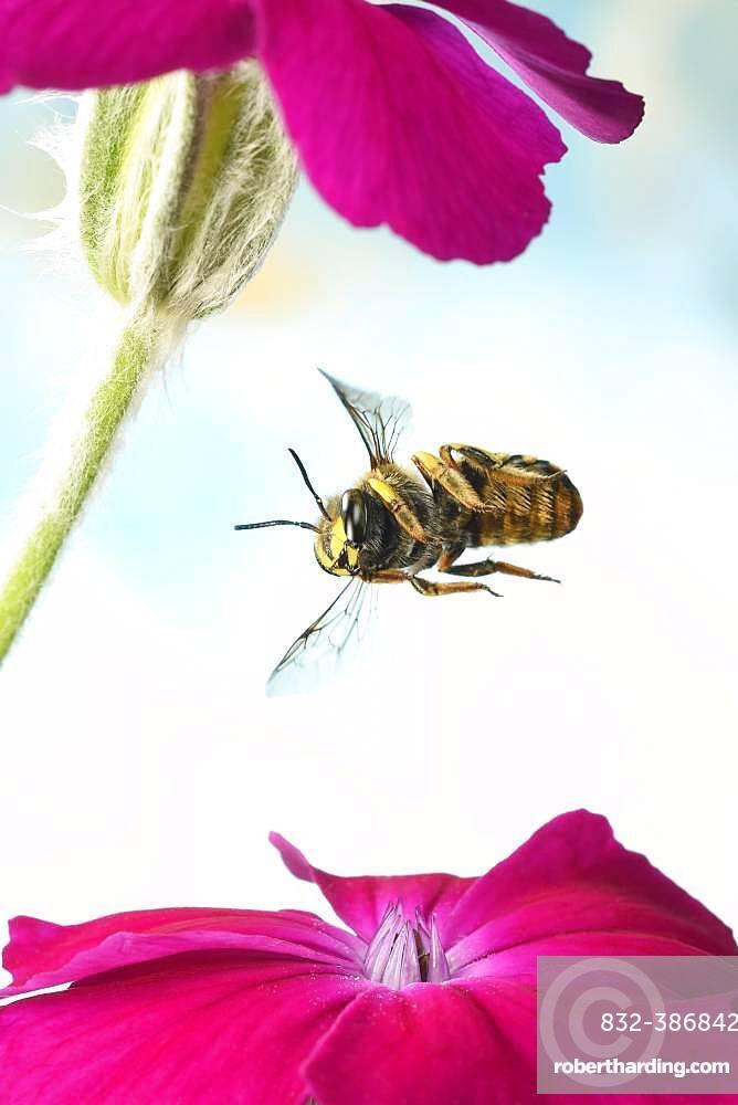 European wool carder bee (Anthidium manicatum), in flight on a rose campion (Silene coronaria), Germany, Europe