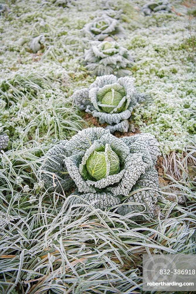 Savoy cabbage (Brassica oleracea convar. capitata var. sabauda) with hoarfrost on field, North Rhine-Westphalia, Germany, Europe