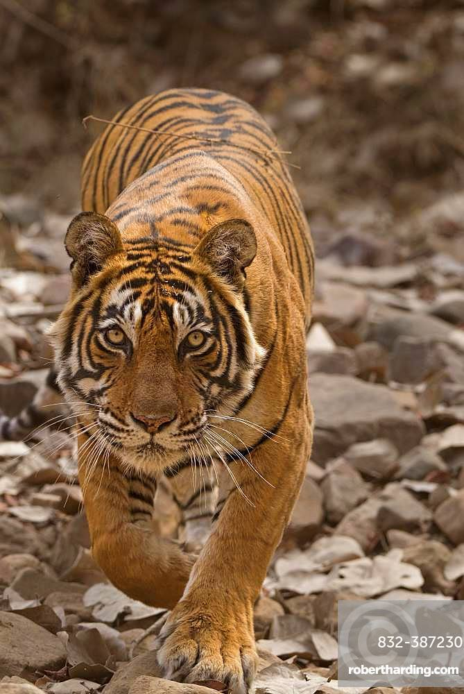 Tiger (Panthera tigris tigris) stalking prey while hunting, Ranthambore National Park, Rajasthan, India, Asia