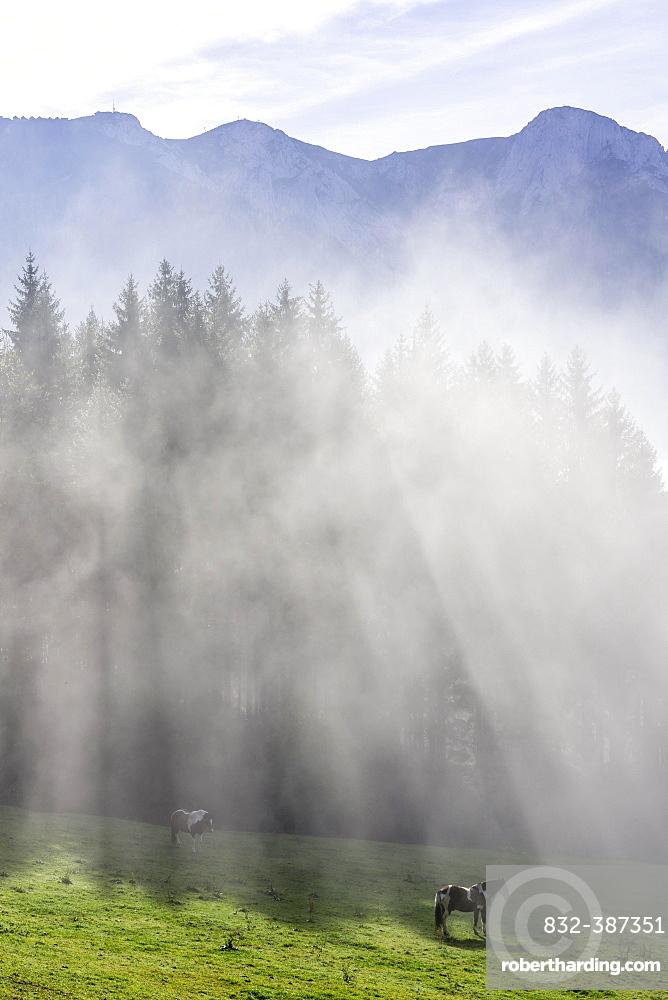 Horse on pasture and fog at the Hochsteinalm, Traunkirchen, Upper Austria, Austria, Europe