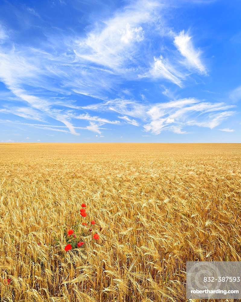 Endless barley field with corn poppy under a blue sky with veil clouds, Saalekreis, Saxony-Anhalt, Germany, Europe
