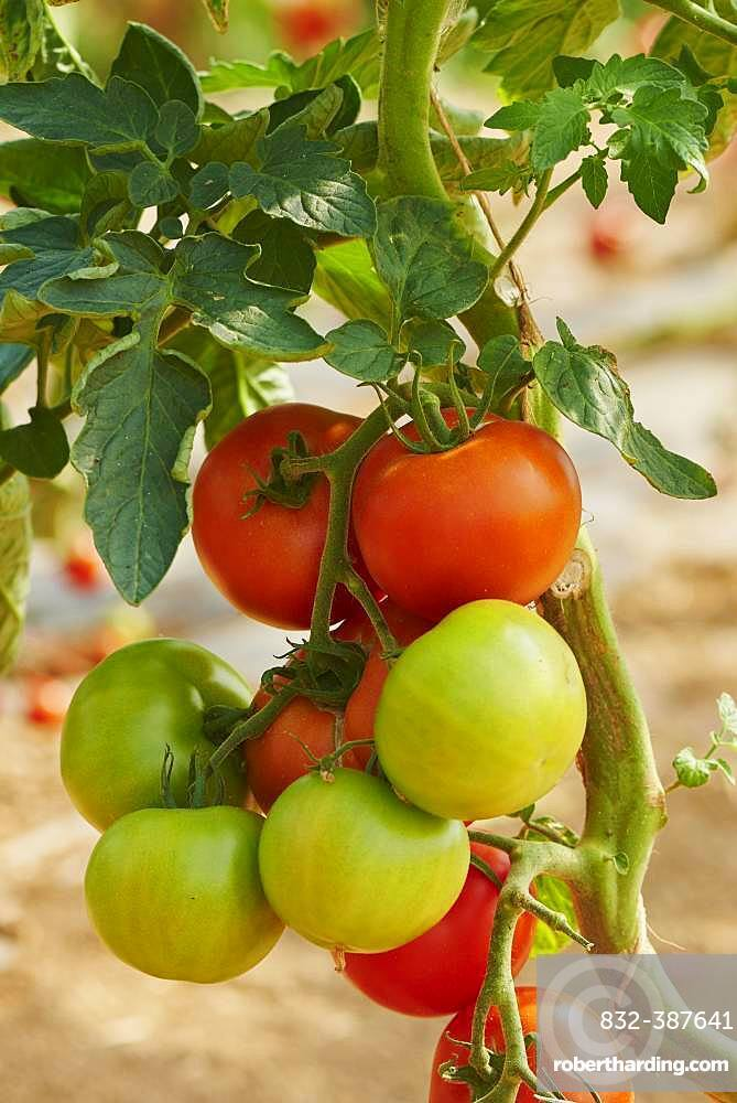 Red and green tomatos at bush, Germany, Europe