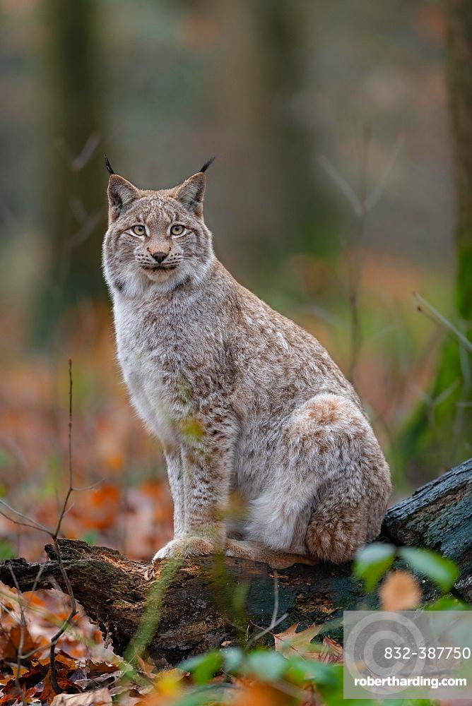 Lynx (Lynx lynx), sitting, captive, Germany, Europe