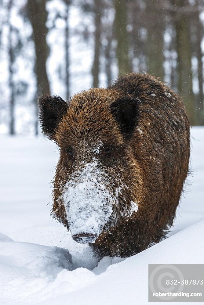 Wild boar (Sus scrofa) in snow, Baden-Wuerttemberg, Germany, Europe