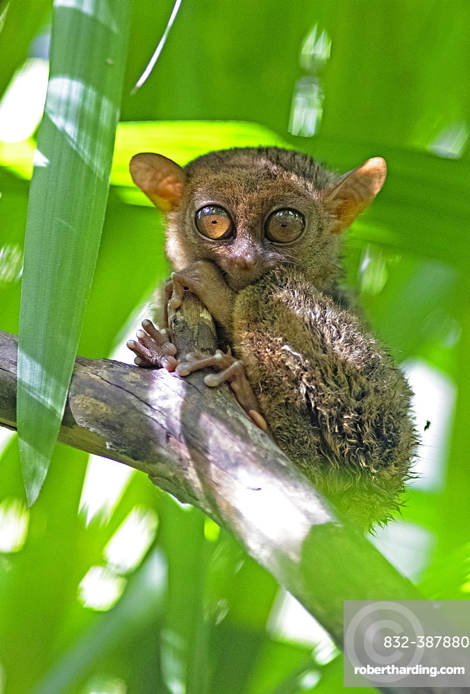 Philippine tarsier (Carlito syrichta) clings to a branch, Bohol, Central Visayas, Philippines, Asia