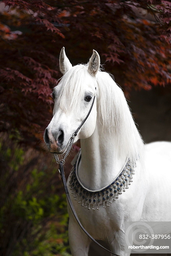 Thoroughbred Arabian grey stallion with halter, portrait, Austria, Europe