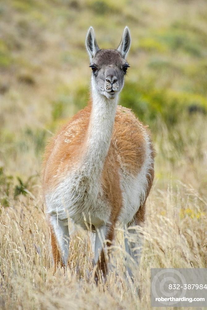 Guanaco (Llama guanicoe), stands in high grass, Torres del Paine National Park, Region de Magallanes y de la Antartica Chilena, Patagonia, Chile, South America
