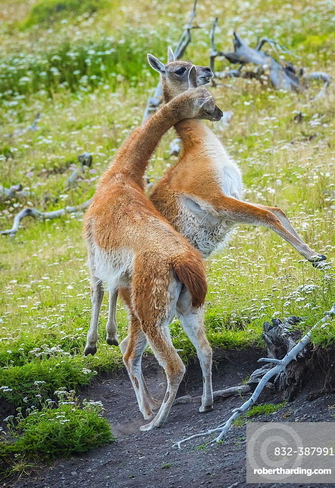Guanacos (Llama guanicoe), two animals in playful combat, Torres del Paine National Park, Region de Magallanes y de la Antartica Chilena, Patagonia, Chile, South America