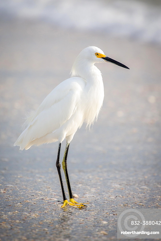 Little egret (Egretta garzetta) at the beach, Longboat Key, Florida, USA, North America