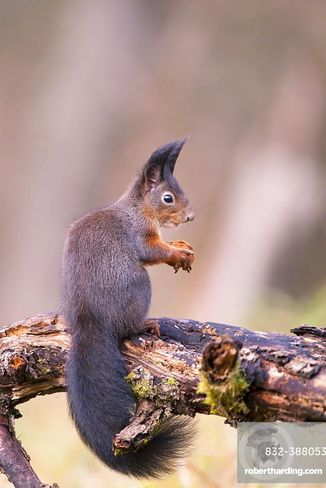 Eurasian red squirrel (Sciurus vulgaris), sitting on branch, Bavaria, Germany, Europe