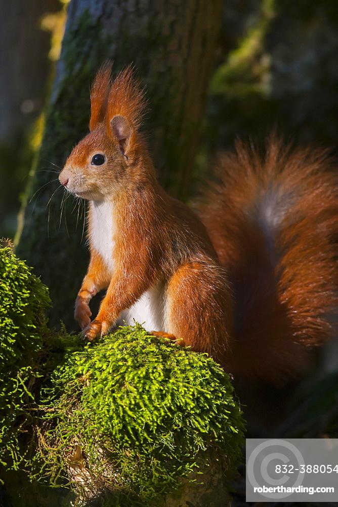 Eurasian red squirrel (Sciurus vulgaris) sits on moss, Bavaria, Germany, Europe