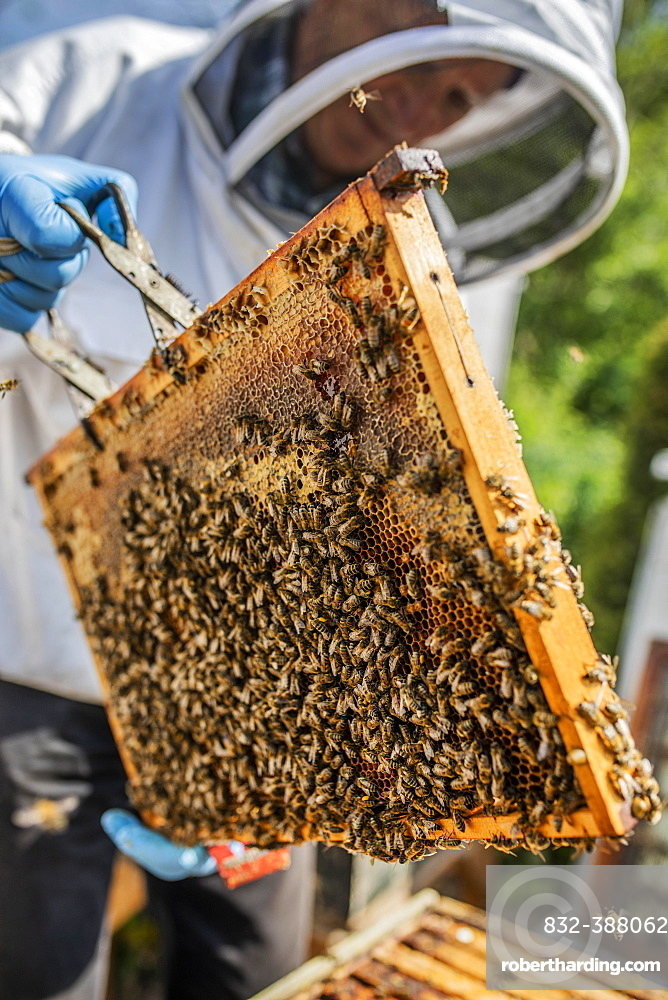 Beekeeper with protective suit checks his honeyBees (Apis) ian der Wabe, North Rhine-Westphalia, Germany, Europe