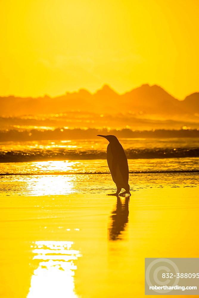 King penguin (Aptenodytes patagonicus) on the beach at sunrise, Volunteer Point, Falkland Islands, South America