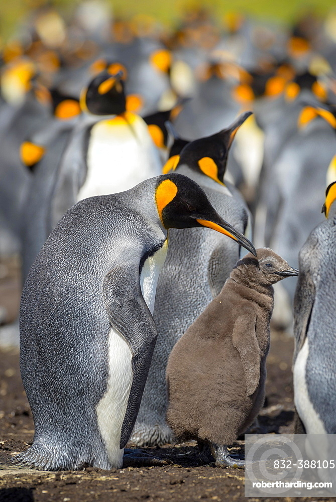 King penguin (Aptenodytes patagonicus) with chicks, breeding colony, Volunteer Point, Falkland Islands, South America