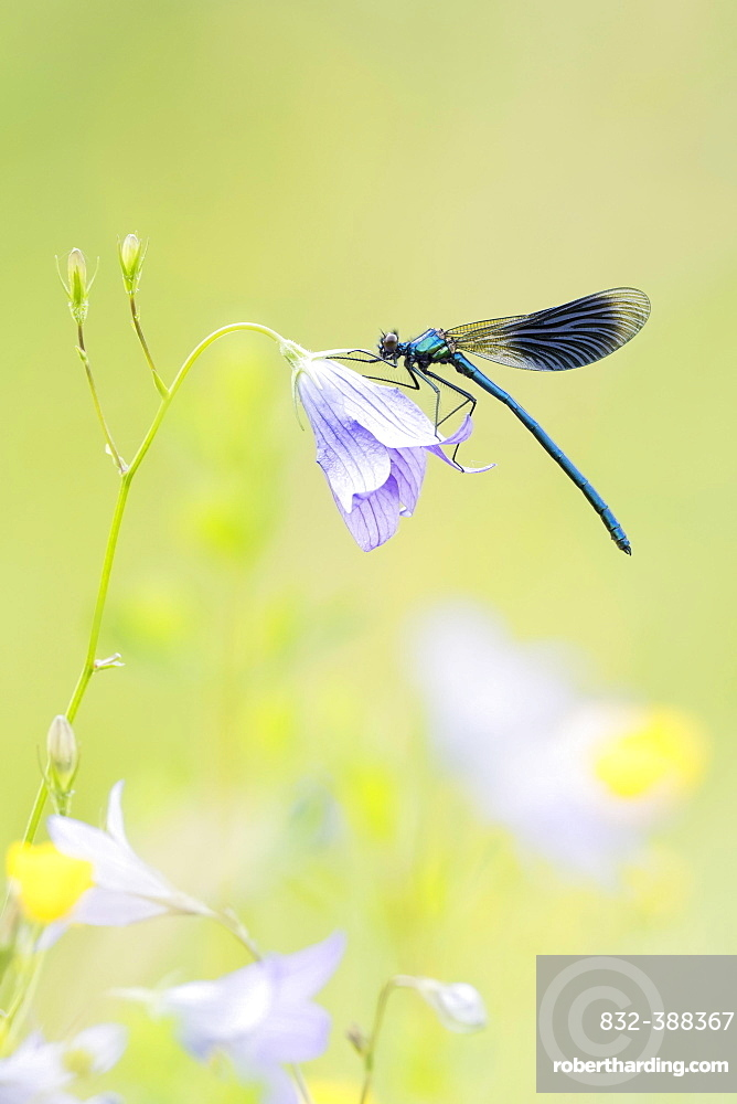 Banded demoiselle (Calopteryx splendens) to Spreading Bellflower (Campanula patula), Hesse, Germany, Europe