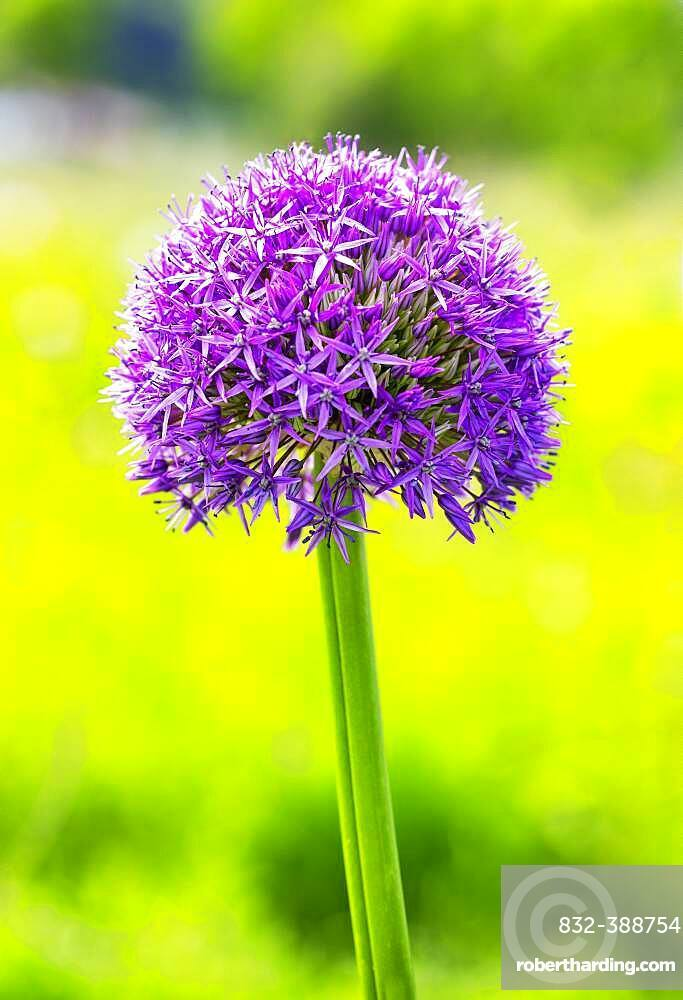 Allium (Allium aflatunense), flower in the garden, Upper Austria, Austria, Europe