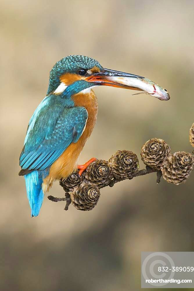 Common kingfisher ( Alcedo atthis) on hideouts with fish, prey, Netherlands