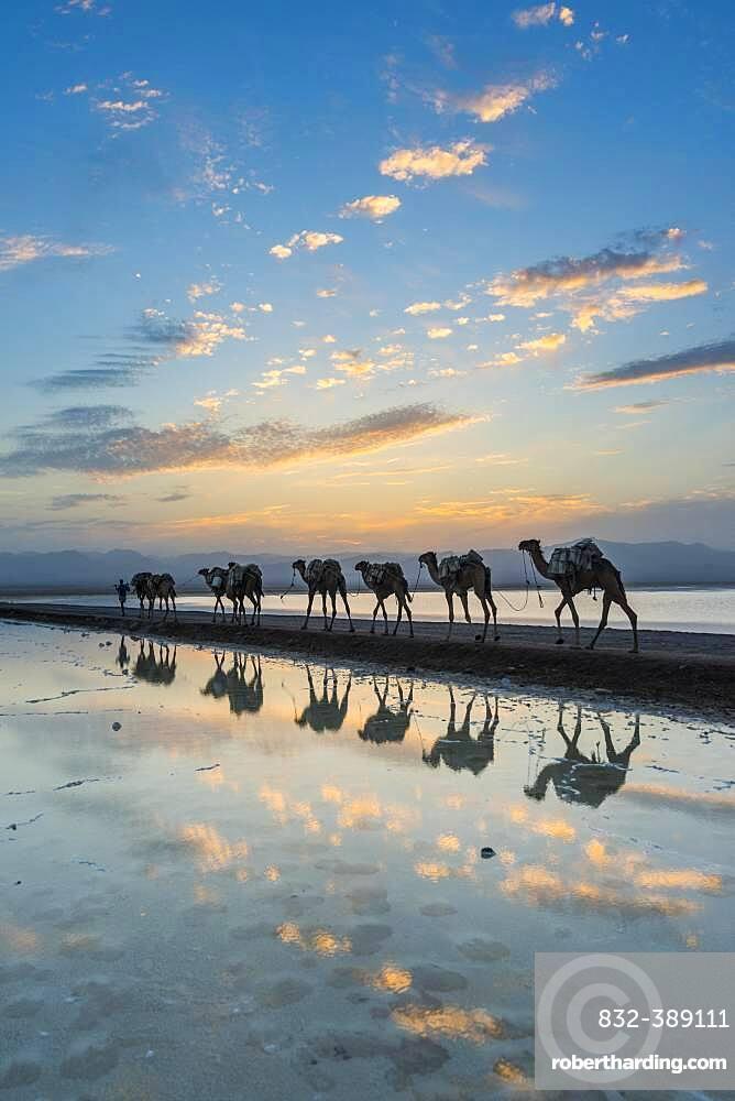 Camels loaded with rock salt slabs walk at sunset through a salt lake, salt desert, Danakil depression, Ethiopia, Africa