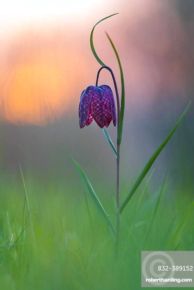 Snake's Head Fritillary (Fritillaria meleagris) in a wet meadow at sunset, Berne, Lower Saxony, Germany, Europe