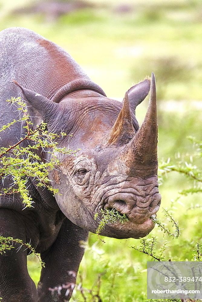 Black rhinoceros (Diceros bicornis), eating, portrait, Etosha National Park, Namibia, Africa