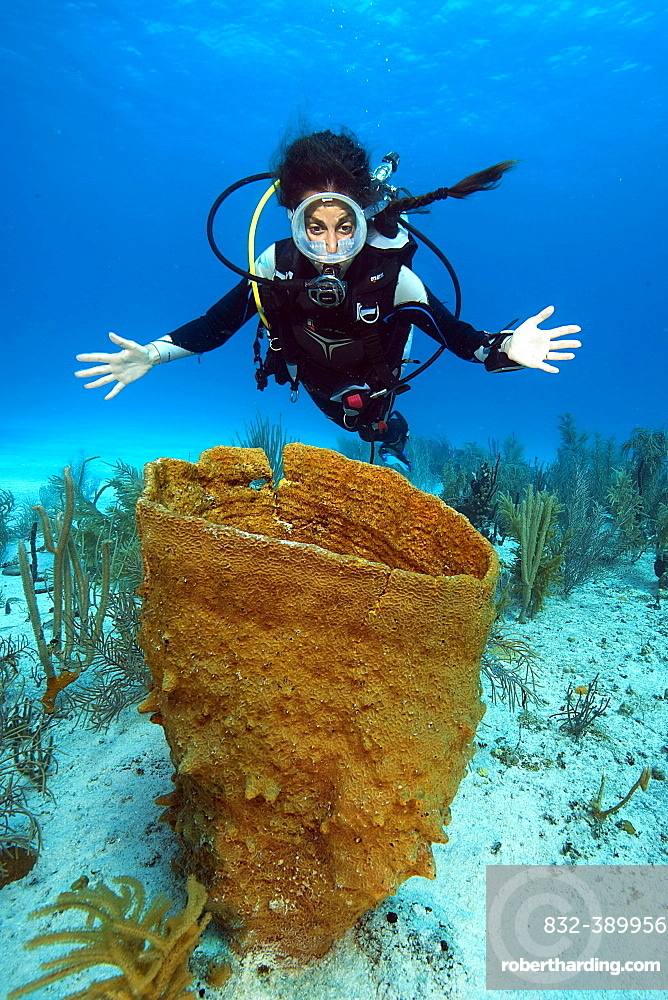 Diver looking at Giant Barrel Sponge (Xestospongia muta) in coral reef, Caribbean, Dominican Republic, Central America