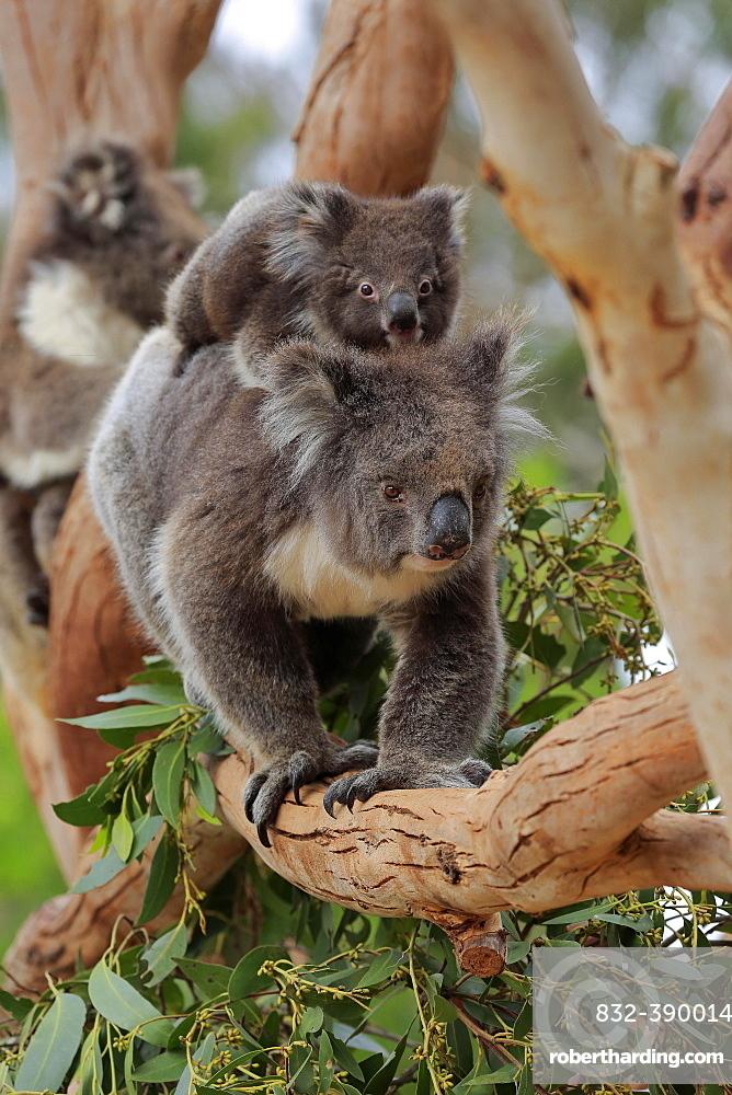 Koalas (Phascolarctos cinereus), mother with young on her back running on branch, social behaviour, Parndana, Kangaroo Island, South Australia, Australia, Oceania