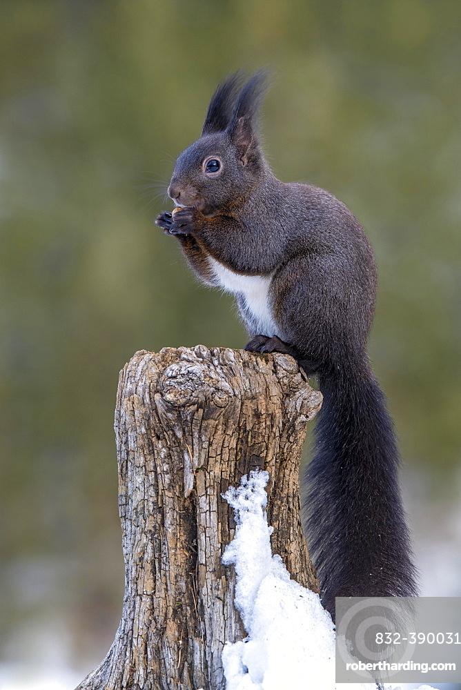 Squirrel (Sciurus vulgaris), sitting on a tree stump, Terfens, Tyrol, Austria, Europe