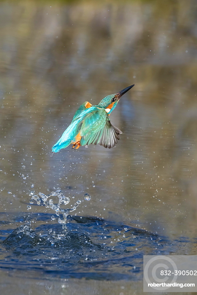 Common kingfisher (Alcedo atthis), emerges from water after hunting, Lower Saxony, Germany, Europe