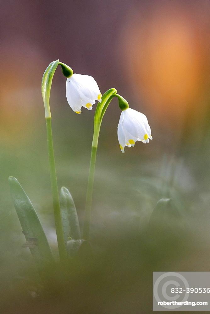 Spring snowflake (Leucojum vernum), Lower Saxony, Germany, Europe
