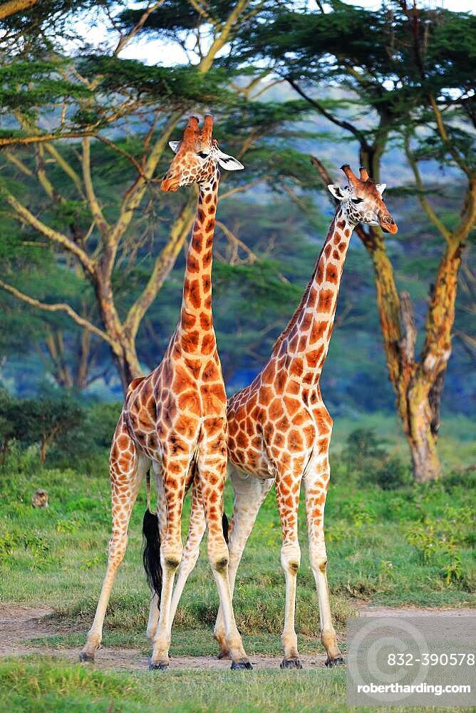 Rothschild's Giraffes (Giraffa camelopardalis rothschildi), fight, Lake Nakuru, Kenya, Africa