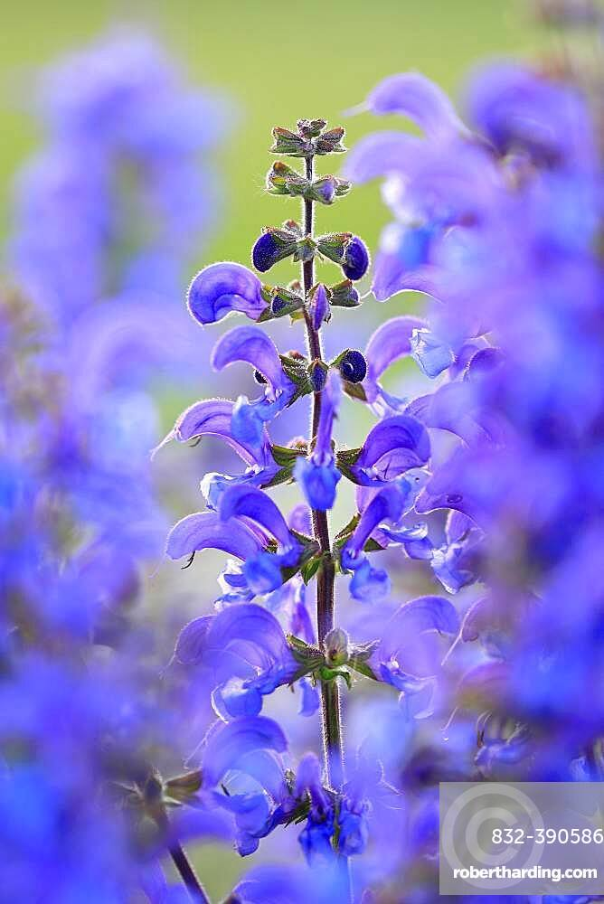 Meadow Clary (Salvia pratensis), Labiates (Lamiaceae), medicinal plant, rough pastures, Jungnau, Upper Danube nature park Park, Baden-Wuerttemberg, Germany, Europe