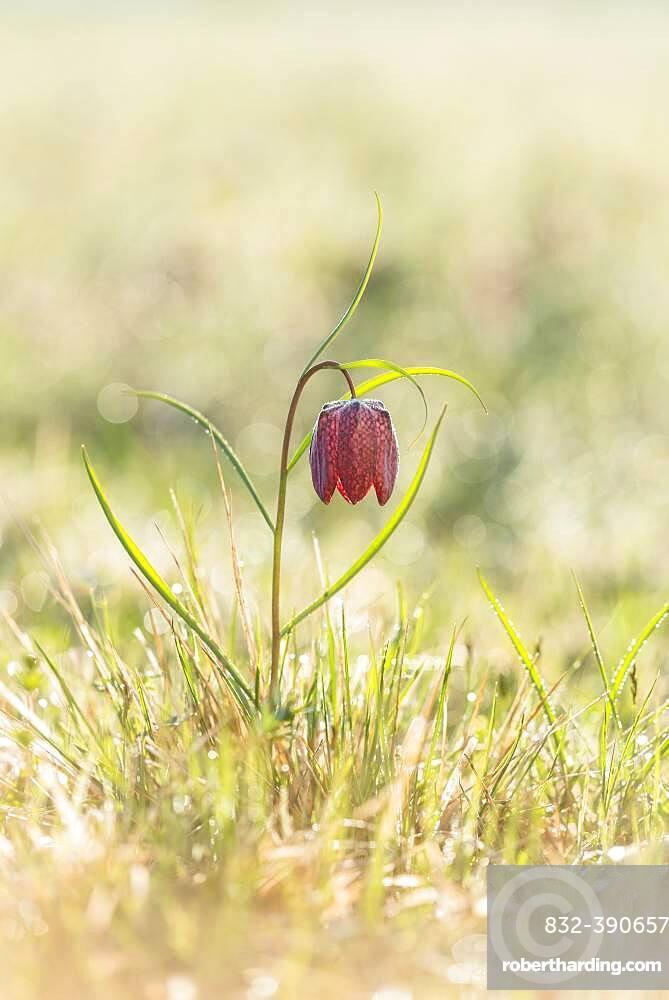 Chess flower, also known as checkerboard flower (Fritillaria meleagris), Grosssteinbach, Styria, Austria, Europe