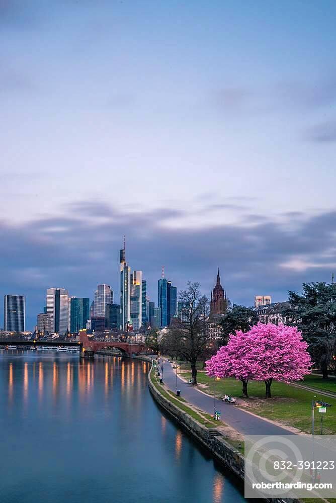 Pink flowering cherry trees (Prunus) and the skyline of Frankfurt, Hesse, Germany, Europe