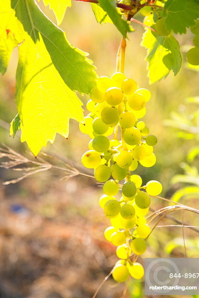Grapes, vineyards at Diano Castello, Imperia, Liguria, Italy, Europe