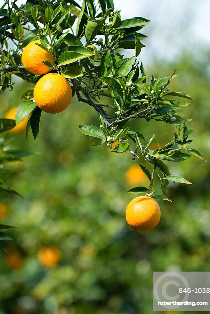 Detail of oranges, Cyprus, Europe