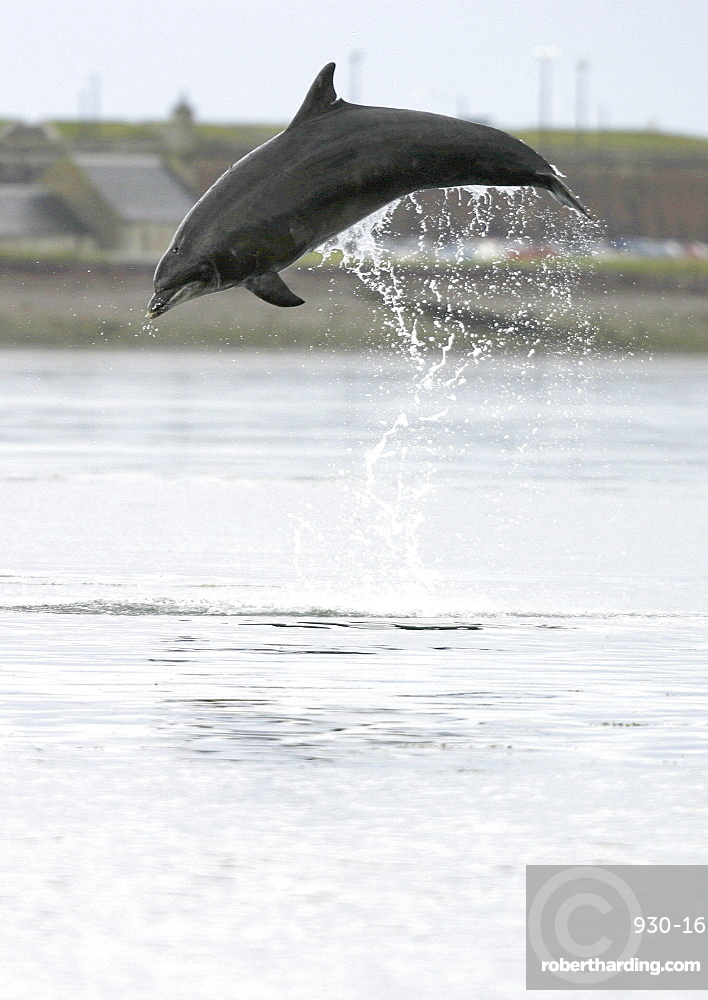 Bottlenose dolphin (Tursiops truncatus truncatus) leaping 2 metres above the surface. (1 or 2 images) Moray Firth, Scotland Resolution Restriction: 3/4 page (A4 only).