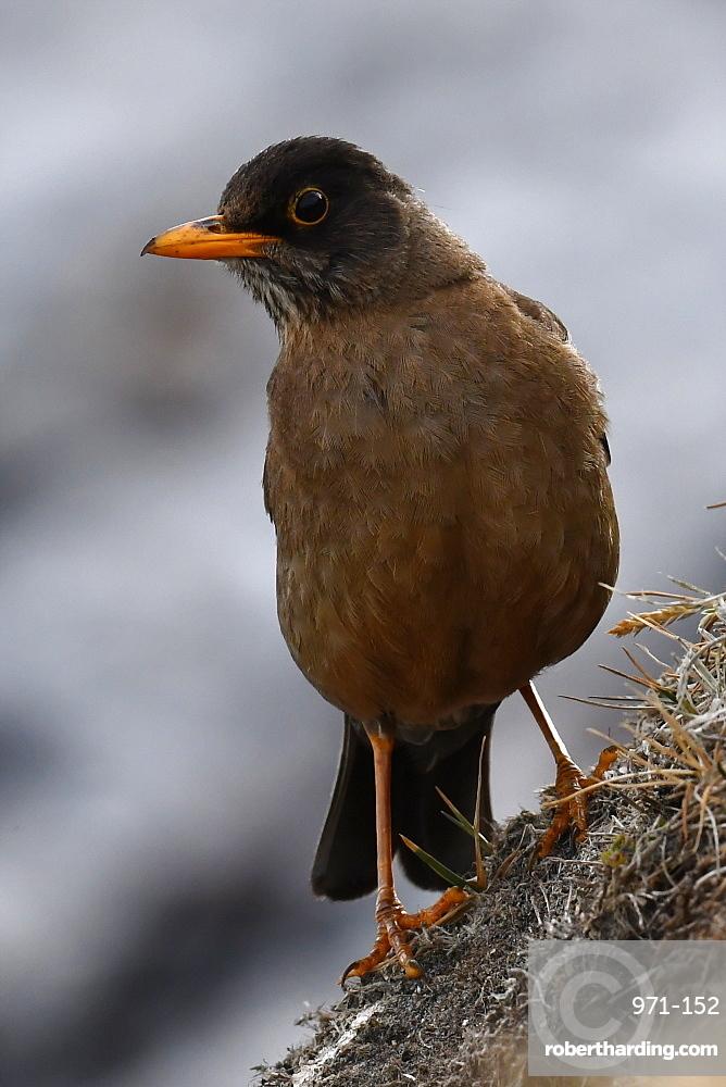 Portrait of an adult Austral thrush (Turdus falcklandii) of the subspecies Falkland thrush (Turdus falcklandii falcklandii), Falkand Islands, South America