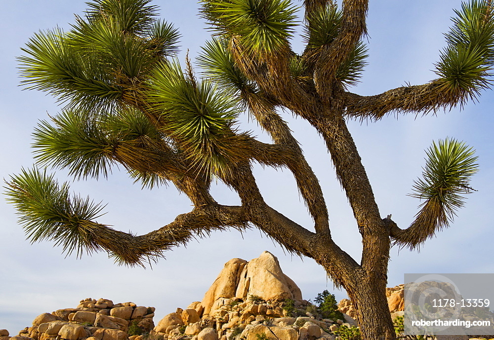 USA, California, Joshua Tree National Park, Joshua tree in desert, USA, California, Joshua Tree National Park