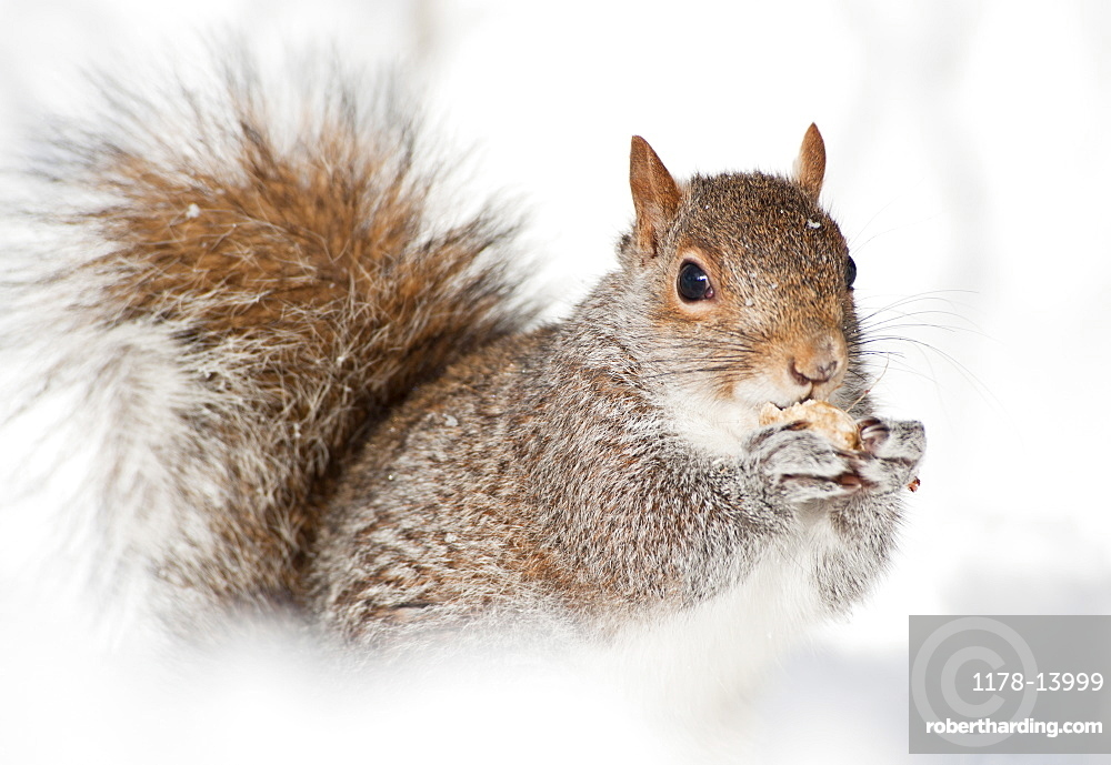 USA, New York, New York City, close up of squirrel sitting in snow