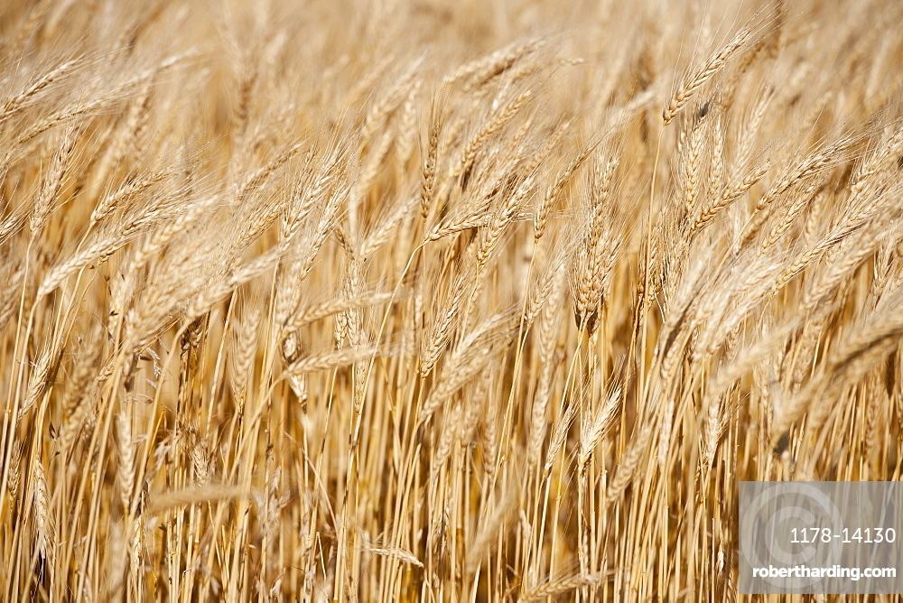 Wheat growing on field
