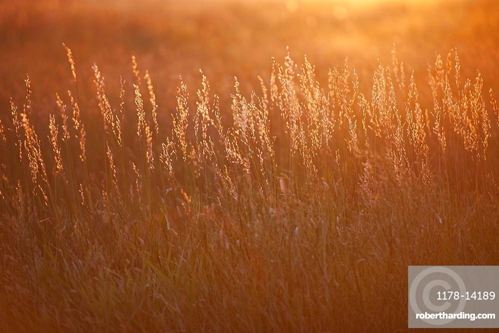 Prairie grass at sunset