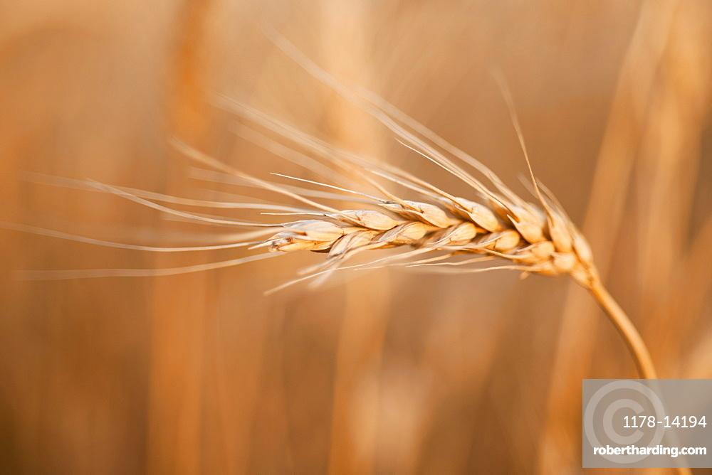 Single wheat seed stem on field