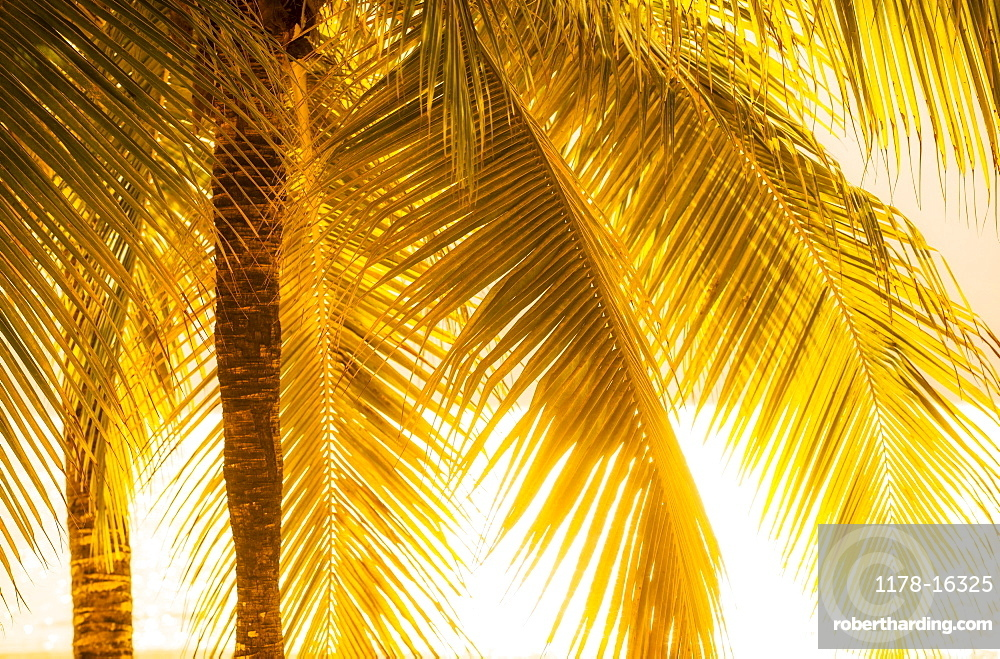 Palm tree at sunset, Jamaica