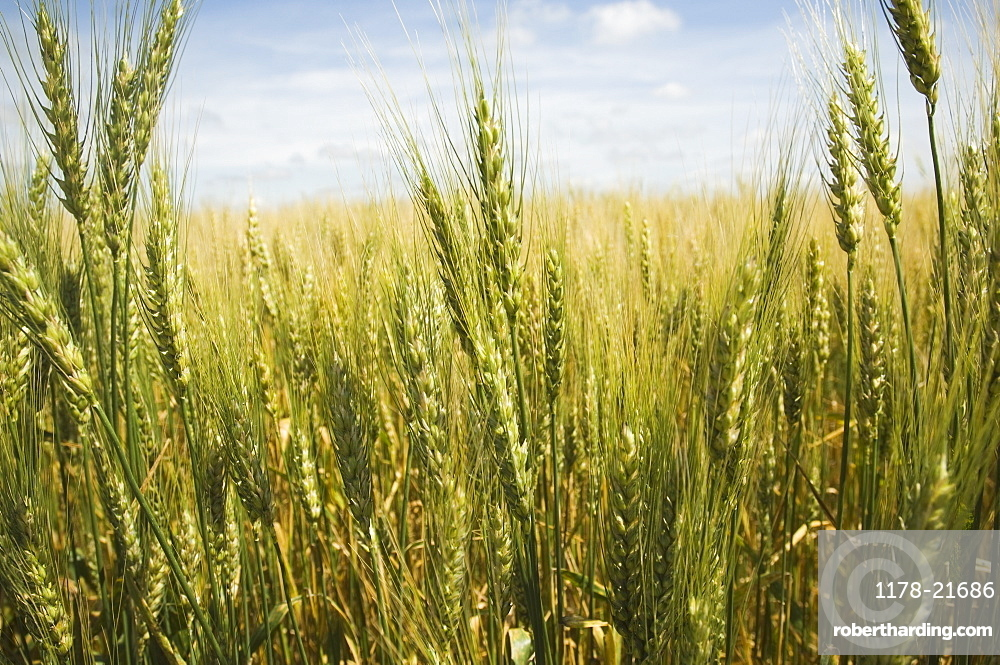 Close up of wheat in field