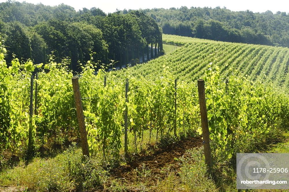 Italy, Montepulciano, Grape bushes in vineyard